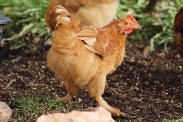 Chickens Ducks Turkeys The Hoppy Goat Farm