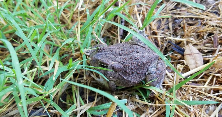 Why FROGS and TOADS are GOOD for your farm!